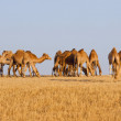 Camels herd in desert - Stock Photo