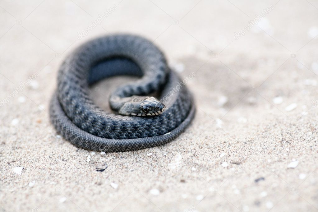 An angry serpent coiled and ready to strike. — Stock Photo #11385657