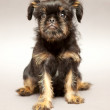 Puppy Brussels Griffin — Stock Photo