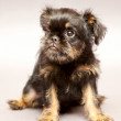 Royalty-Free Stock Photo: Portrait   puppy  Brussels Griffin