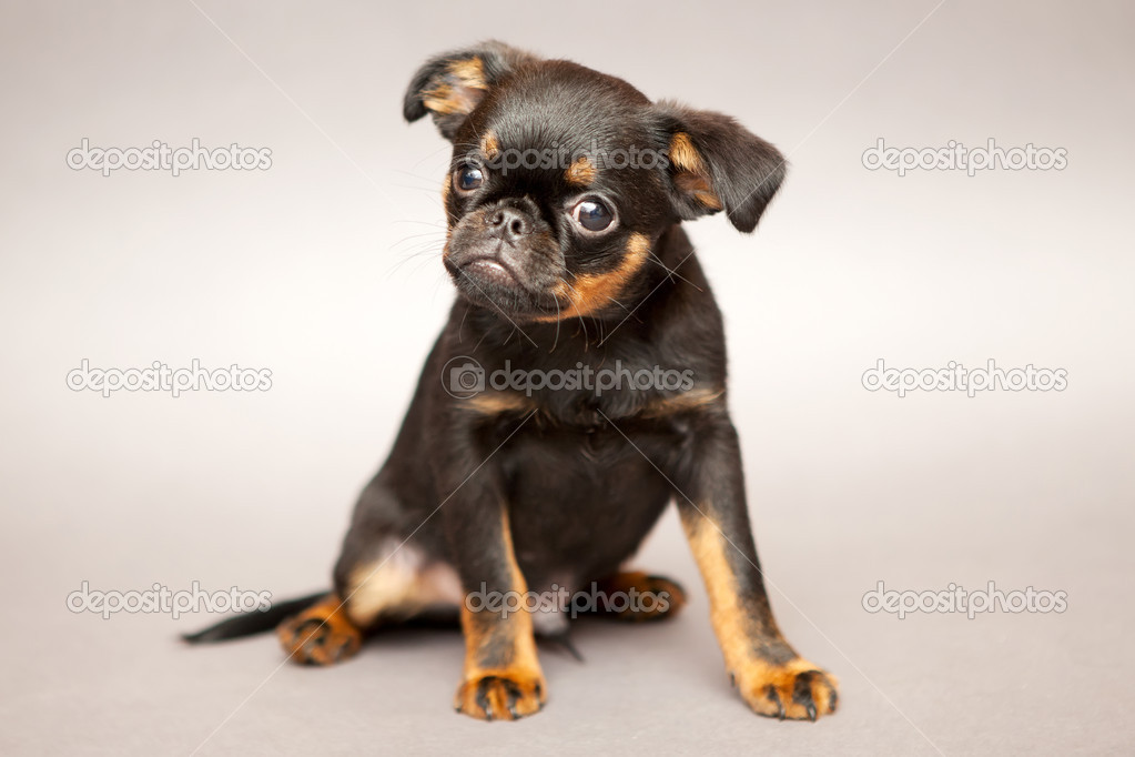 Little puppy of breed Griffon Brabanson  Stock Photo #10947991