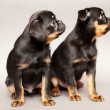 Two  puppy  Griffon Brabanson - Stock Photo