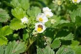 Kwiat truskawki i pszczoła — Zdjęcie stockowe