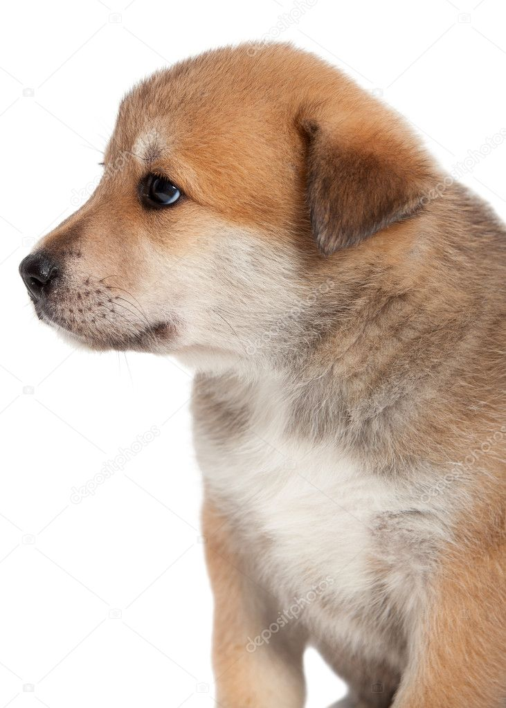 Small, yellow puppy huskies and husky, side view  Stock Photo #11343418