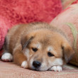 small puppy — Stock Photo