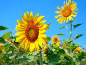 Beautiful blossom sunflower — Stock Photo