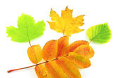 Color autumn leaves of birch, rowan and maple — Stock Photo