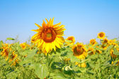 Blossom sunflower — Stock Photo