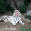 The White Tiger - Stock Photo