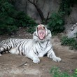 White Tiger — Stock Photo #11461251