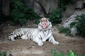 The White Tiger — Stock Photo