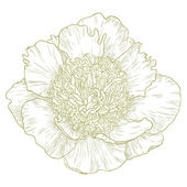 Flor de peônia vector. — Vetorial Stock