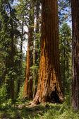 Giant Sequoias — Stock Photo