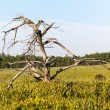 Old gnarled tree in Big Meadows on Skyline Drive — Stock Photo #11135341