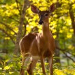 White tailed deer feeds at Big Meadow - Stock Photo