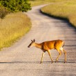White tailed deer feeds at Big Meadow — ストック写真