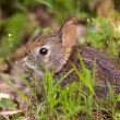 Baby rabbit in forest — Stock Photo #11135374