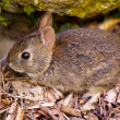 Baby rabbit in forest — Stock Photo #11135379