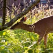 White tailed deer feeds at Big Meadow — Lizenzfreies Foto