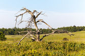 Old gnarled tree in Big Meadows on Skyline Drive — Stock Photo