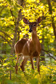 White tailed deer feeds at Big Meadow — Stock Photo