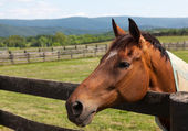 Old chestnut horse in rural meadow on fence — Stock Photo
