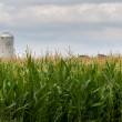 Corn crop flowers with silo in distance — Stock Photo