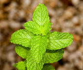 Mint leaves on herb plant in macro — Stock Photo