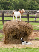 White goat on straw bale in farm field — Foto Stock
