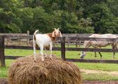 White goat on straw bale in farm field — Stock Photo
