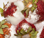 Moldy strawberries in macro close up — Stock Photo