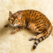 Orange brown bengal cat on wool rug — Stock Photo