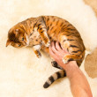Orange brown bengal cat on wool rug — Lizenzfreies Foto