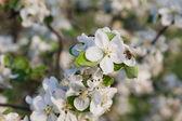 Apple-tree — Stockfoto