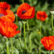 In poppies field. - Stock Photo