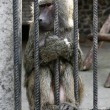 Baboon - Simia hamadryas. - Stock Photo