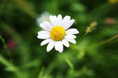 Chamomile flower. — Stockfoto