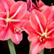 St. Josephs lily — Stock Photo #10973937