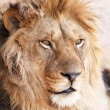 Head portrait of lion animal — Stock Photo