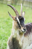 Little goat with horn at green pasture — Stock Photo