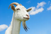 Goat with horn at green pasture — Stock Photo