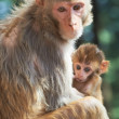 Stock Photo: Macaque monkey mother with suckling baby