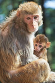 Macaque monkey mother with suckling baby — Stock Photo