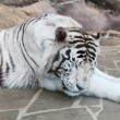 Stock Photo: Closeup of sleeping white tiger