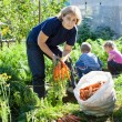 Mature woman in garden with small children picking the carrot — Stok fotoğraf