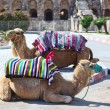 Camels for riding tourists on the road to an ancient amphitheater in El Djem, Tunisia — Stock Photo