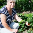 Stock Photo: Mature adult womshowing red strawberries cultivated on garden