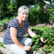 Senior adult woman showing red strawberries cultivated on garden — Stock Photo