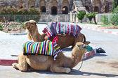 Wielbłądy na konna turystów na szlaku do starożytnego amfiteatru w el djem, tunezja — Zdjęcie stockowe