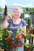 Mature adult woman in own garden with brunch of red currants berries — Stock Photo